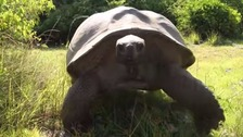 The giant tortoise set off in pursuit of the men who disturbed his mating session