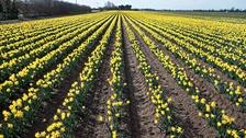 The vibrant daffodil field in Lincolnshire