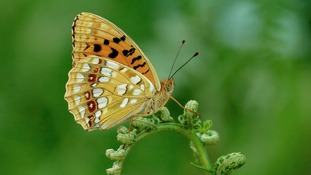 Critically Endangered Butterfly Hits 10-Year High