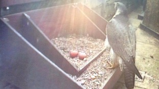 Peregrine lays two eggs