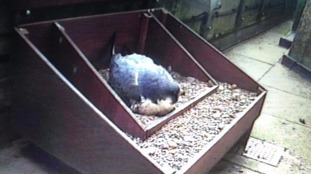 Peregrine keeping eggs warm