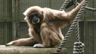 Gibbon