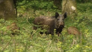 A wildboar attacked a couple and their dog