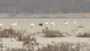 Is this the first black flamingo ever spotted?