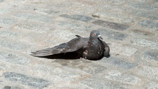 Paramedic who rushed to help 'collapsed woman' finds a dying pigeon