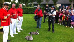 ITV Meridian's camera man Mick Hopley prepares for a close up on cygnets