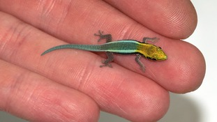 Three endangered yellow-headed day geckos have been born at Bristol Zoo