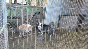 The dogs were kept on land in poor conditions where lot of rats were around.