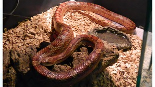 A corn snake found abandoned among fly-tipped rubbish.
