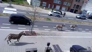 Three zebras run free through the outskirts of Brussels