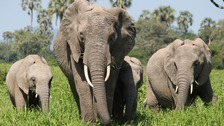 Older males are the most prized by poachers.
