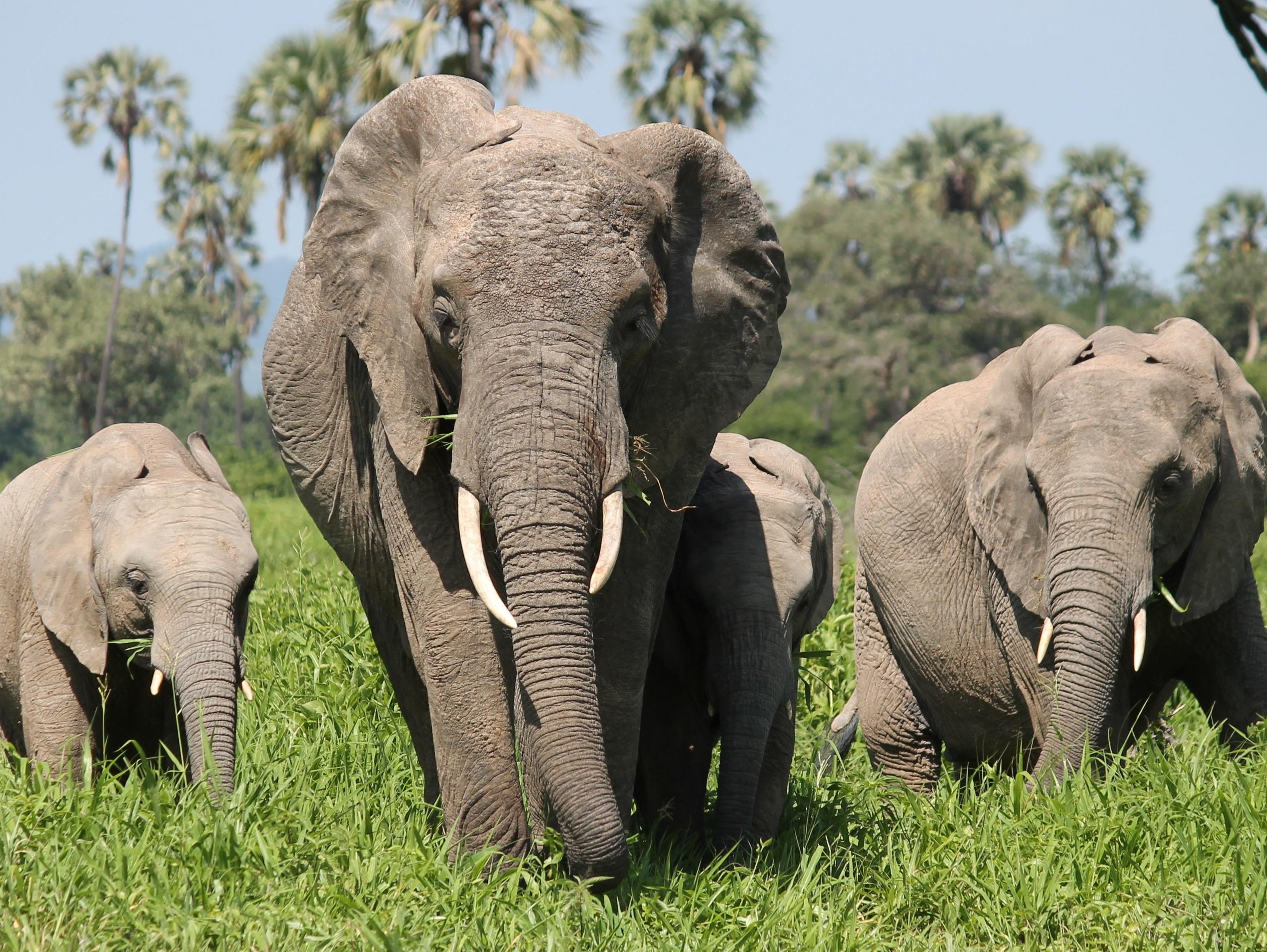 Exposed tanzania 39 s elephant killing fields itv news - Image elephant ...