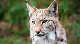 A wild Lynx.