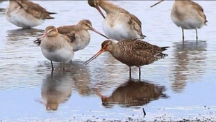 The Hudsonian godwit usually spends the winter in South America