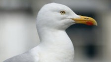 Herring gull put down after being kicked