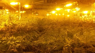 An image of the cannabis plants.