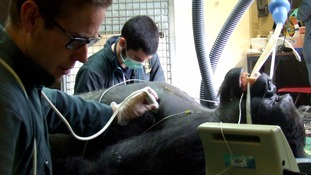 Researchers are at Paignton Zoo collecting information on great apes