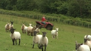 Eleri herding sheep