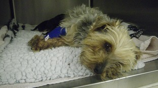 Yorkshire Terrier who was abandoned