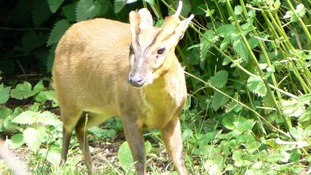 Deer managers in Dumfries told to shoot Muntjac deer on sight
