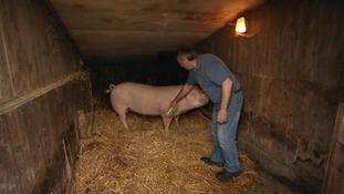 Ken grooming pig