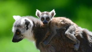 Lemurs Humbug and Tink produced a pair of ring tailed lemur twins.