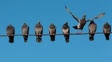 Pigeons on a power line