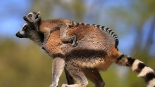 One of the lemur twins unexpected born at Woburn Safari Park this month.