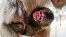 Charlotte the baby macaque