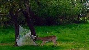 Deer in hammock