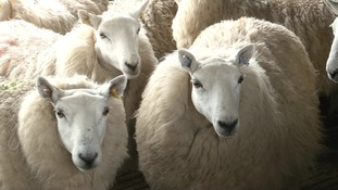 Scottish sheep shearing delayed