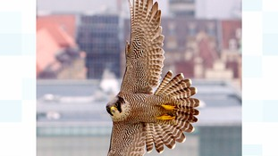 An adult Peregrine Falcon