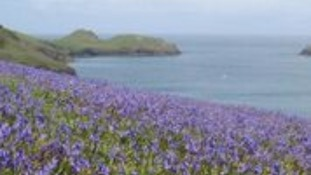Bluebells at the National Trust's Pentire Head, near Polzeath