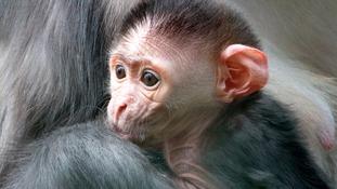 adorbs monkey