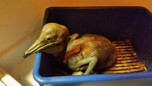 Blackpool Zoo's pelican chick Charlie gets the royal treatment