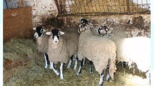 Swaledale sheep stolen from Long Marton