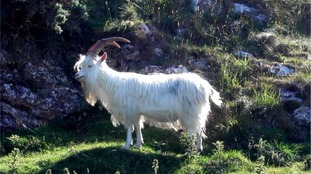 A feral Kashmiri goat living on Great Orme