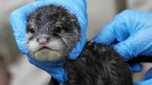 Chester Zoo vet Livia Benato a checks on Daley, one of the two baby Asian Short Clawed Otters born at the zoo