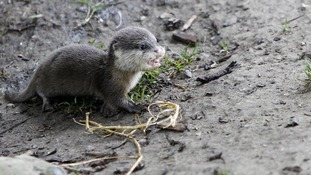 10 week old Rebecca, the Short Clawed Otter named after Olympian Rebecca Adlington