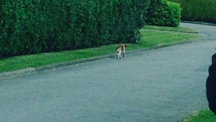 Jessie the beagle cross.