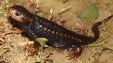 Myanmar's crocodile newt