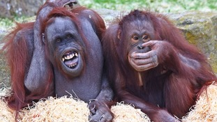Human and animal surgeons work together to help orangutan