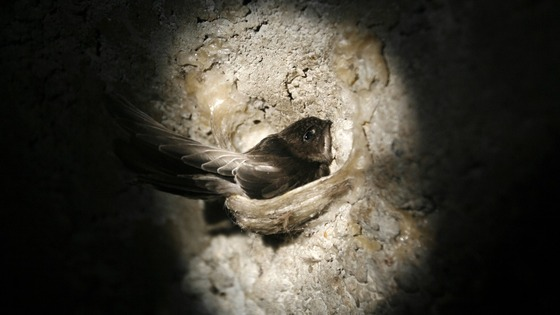Wet weather has caused a 'disastrous' breeding season for the swift.