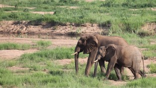 Tanzania pledges action on elephant 'slaughterhouse' as numbers fall again