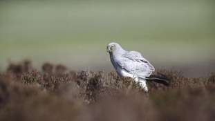 Hen Harrier's unexplained disappearance