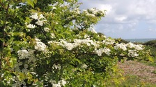 The disease threatens Hawthorn trees.