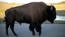 A Yellowstone bison