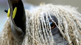 Cumbria hosts National Sheep Association show