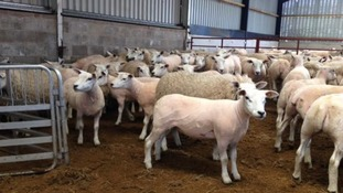 In pictures: National Sheep Association show