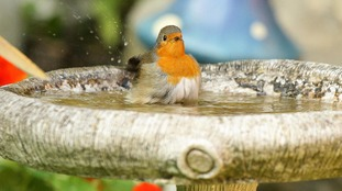 A robin has a nice bath